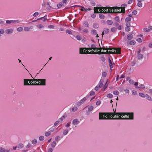 Endocrine System Histology