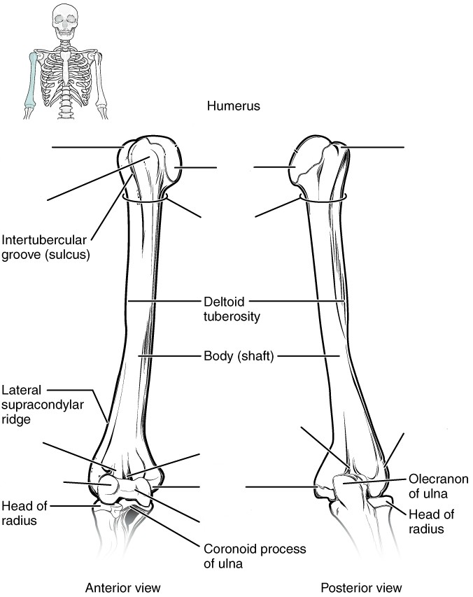Label the features of the humerus by Anterior and Posterior view