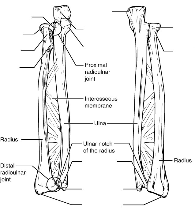 Bones of the pectoral girdle and upper limb