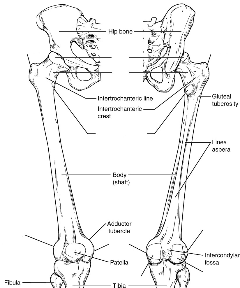 Lower Limb Bone Anatomy Lower Limb Bones
