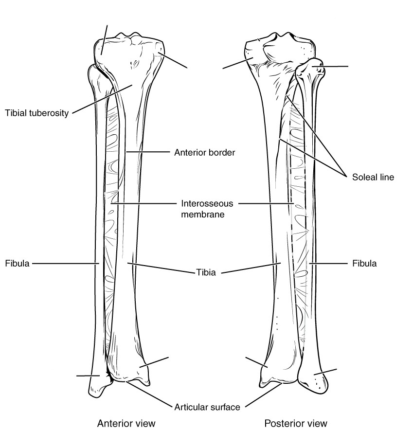 Diagram Of Tibia And Fibula - Anterior View and Posterior View