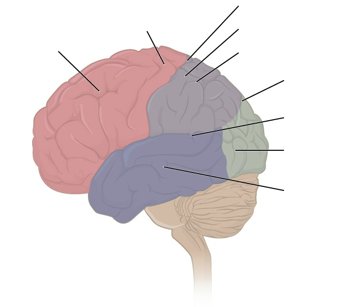 Label to lobes of cerebral cortex