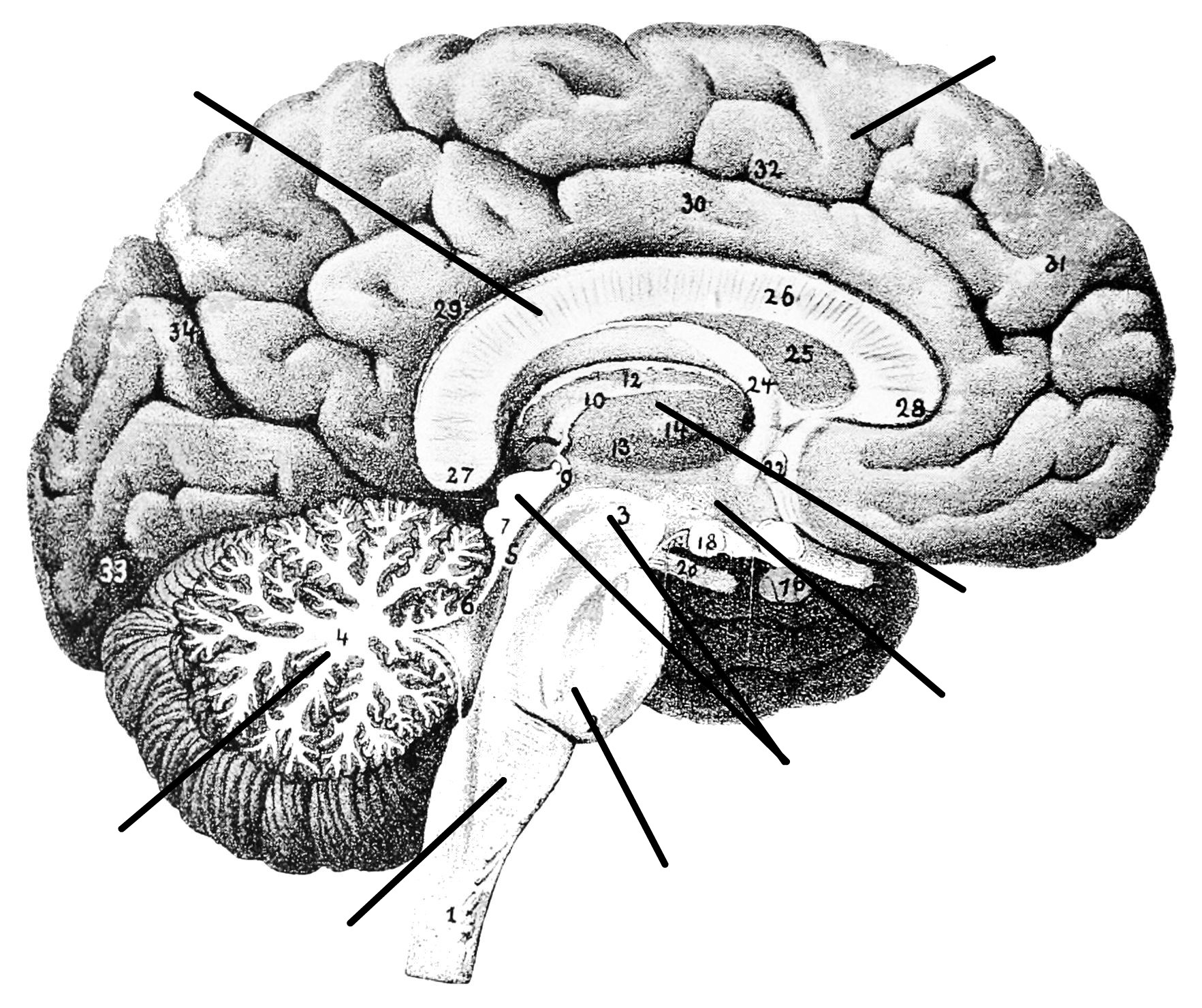 Blank Sagittal Brain Diagram