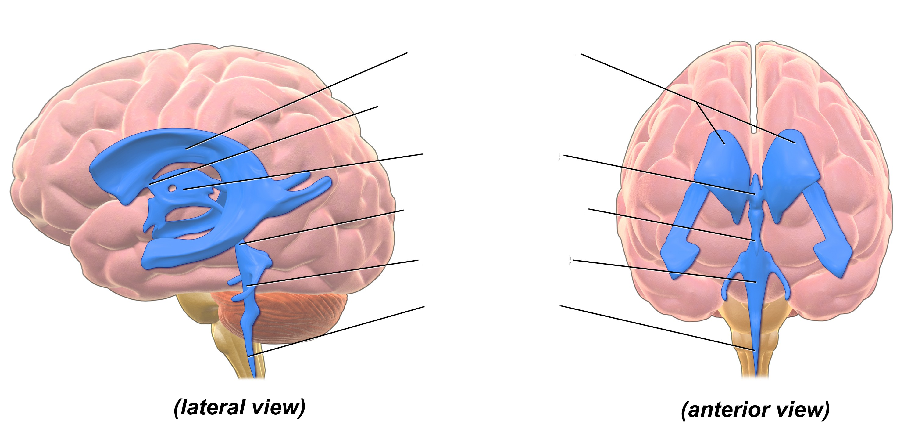 Label the ventricles and passageway of CSF through the brain from the lateral and anterior view of brain ventricular system