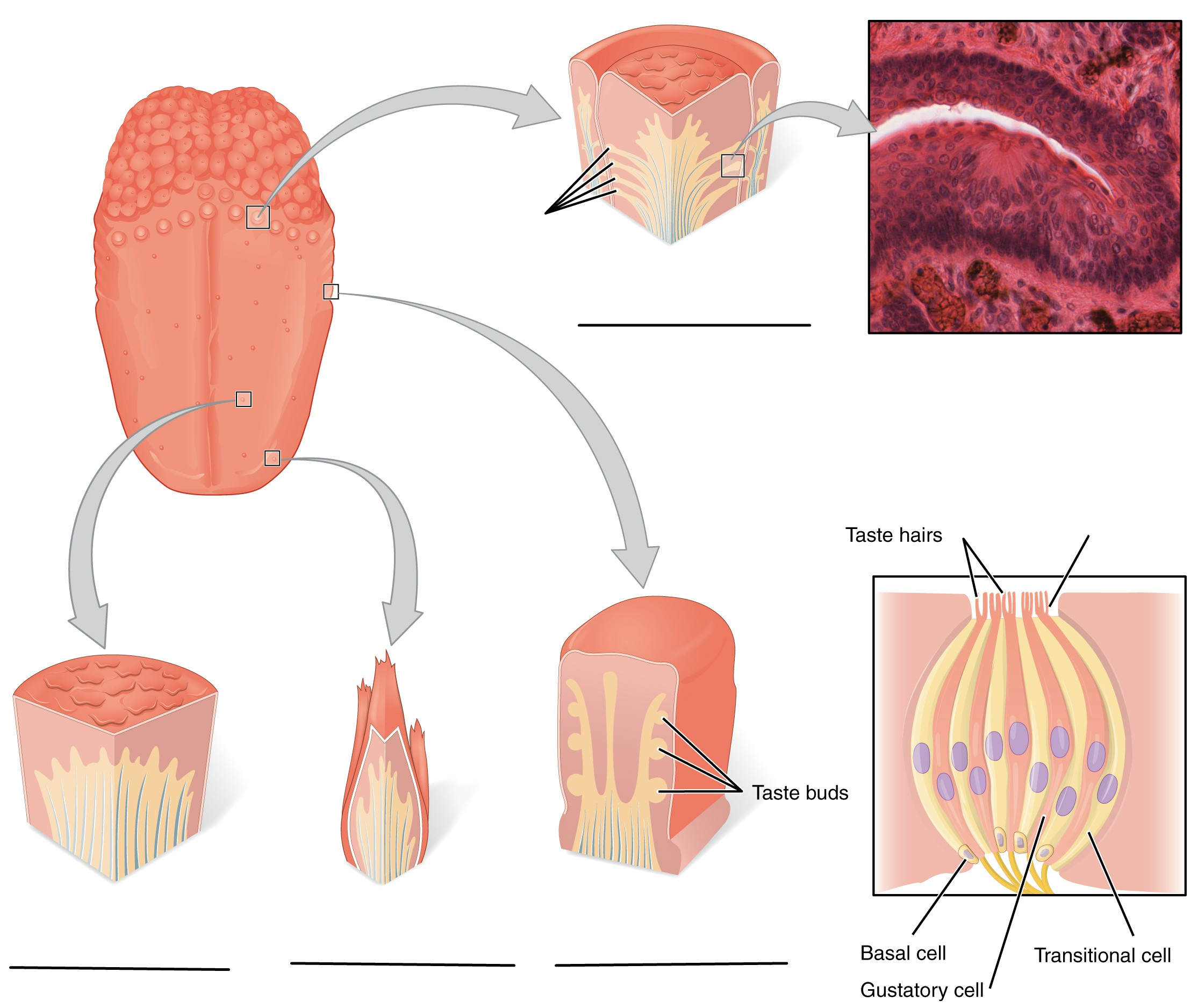 Predefined space to Label the types of papillae and parts of sensory cells and taste buds