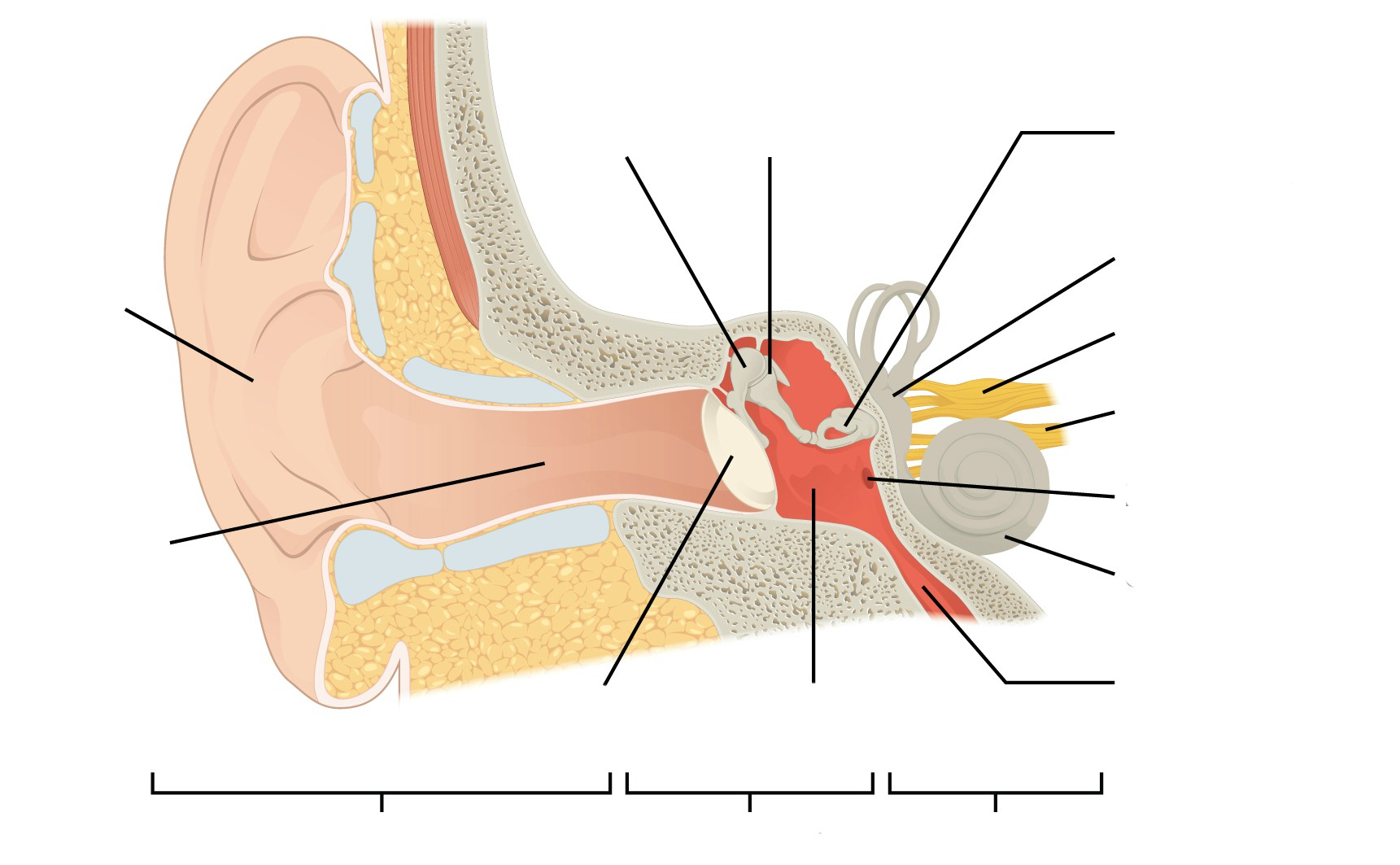 Predefined space to Label the regions and structures of Human Anatomy Ear