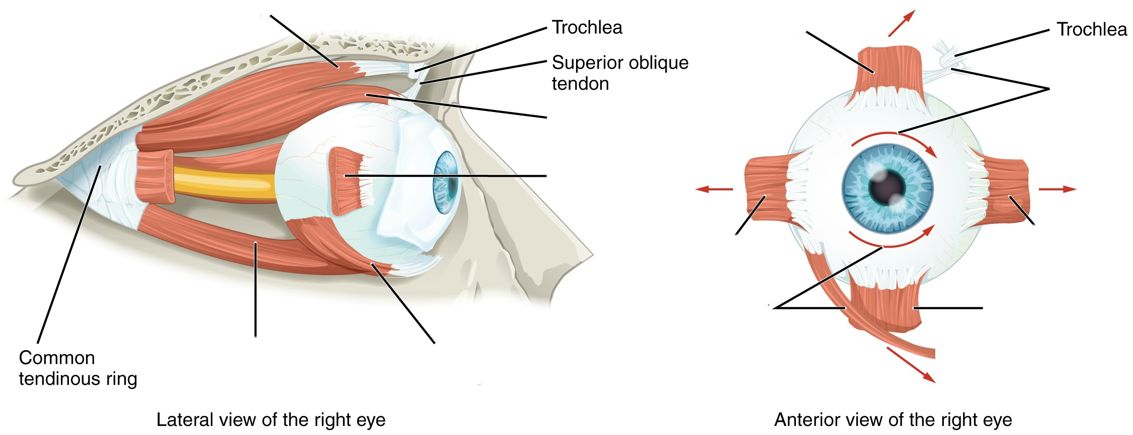 Predefined space to Label the muscles of the eye from the lateral and anterior view