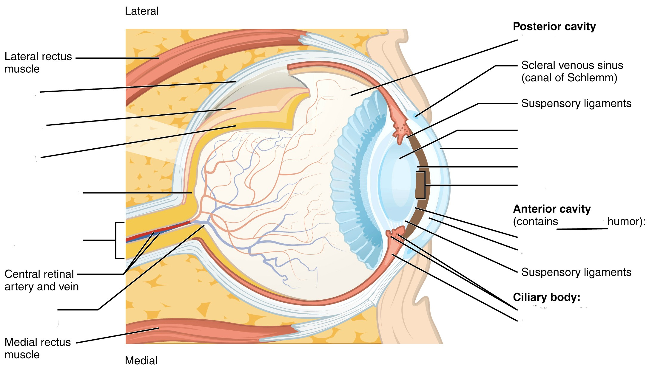 Predefined space to Label the structures and regions of the Human Eye Anatomy