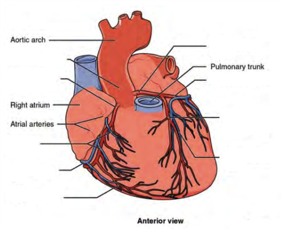 Label the prominent coronary surface vessels from the Anterior view of heart