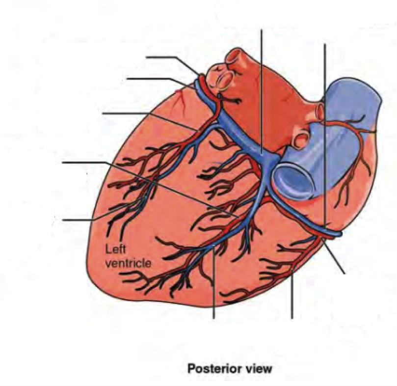 Label the prominent coronary surface vessels from the Posterior view of the heart