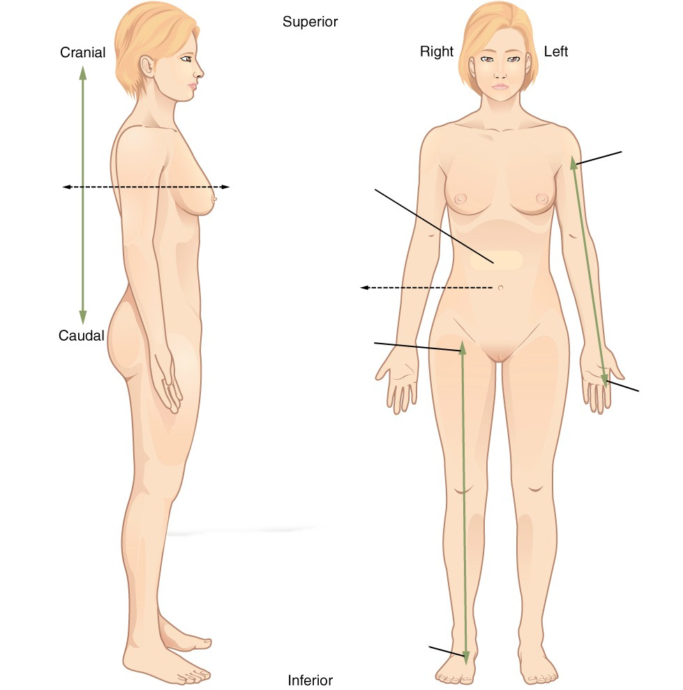 Relative location in the anatomical position - Female
