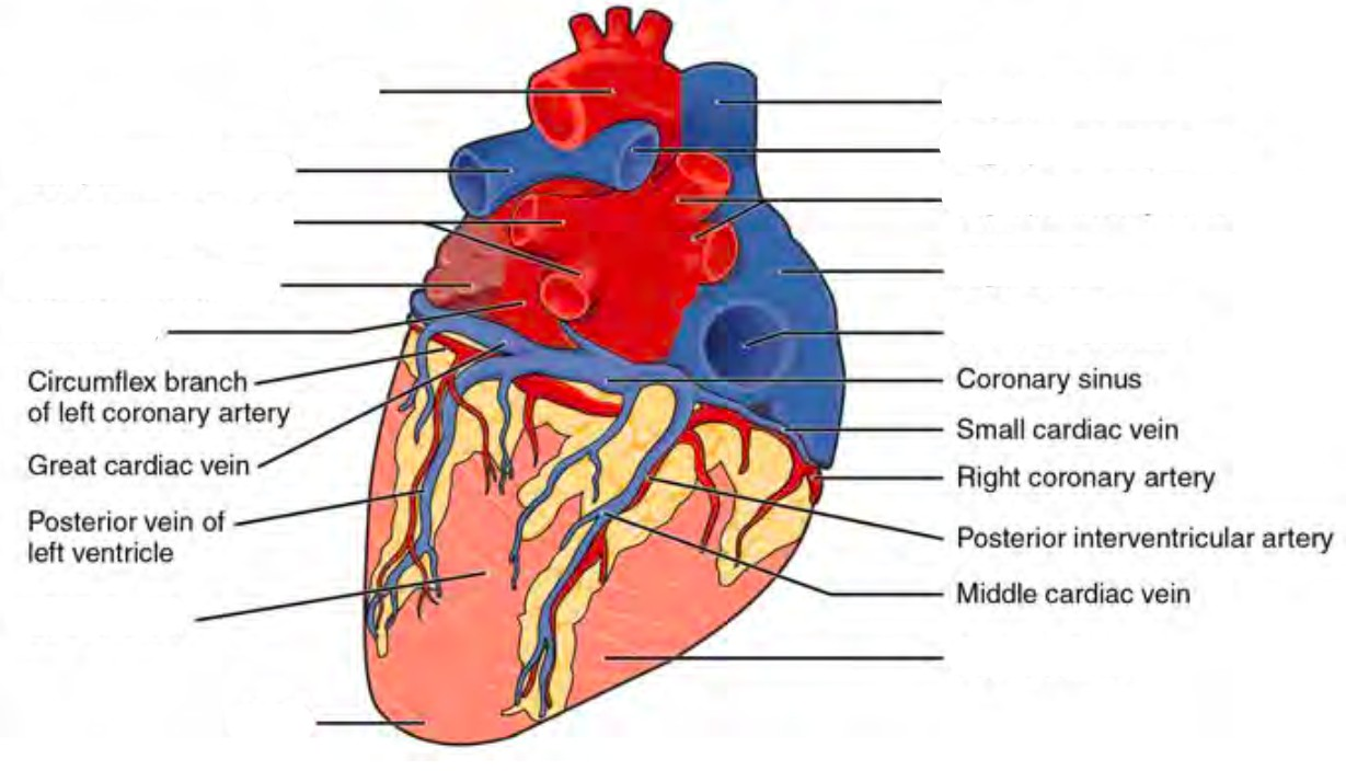 Predefined space to Label the surface features on the posterior aspect of the heart