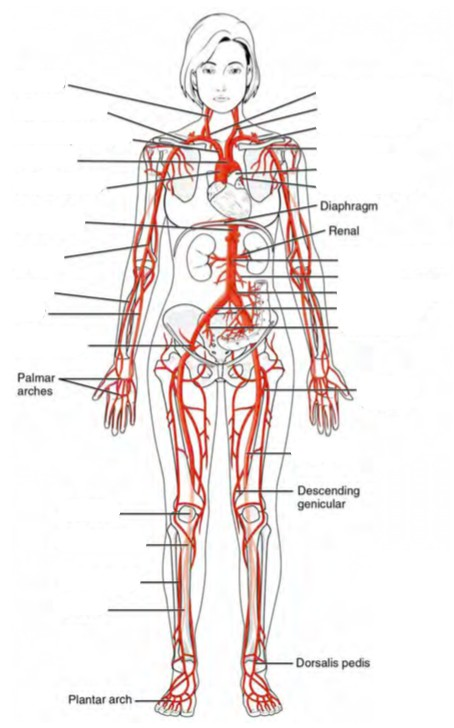 Predefined space to Label the major systemic arteries of the human body
