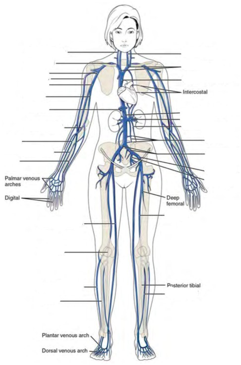 Predefined space to Label the major systemic veins of the human body
