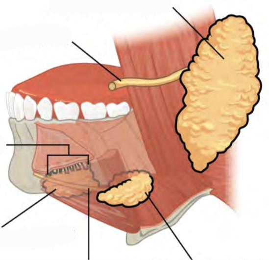 Predefined space o Label the major salivary glands and ducts of human mouth