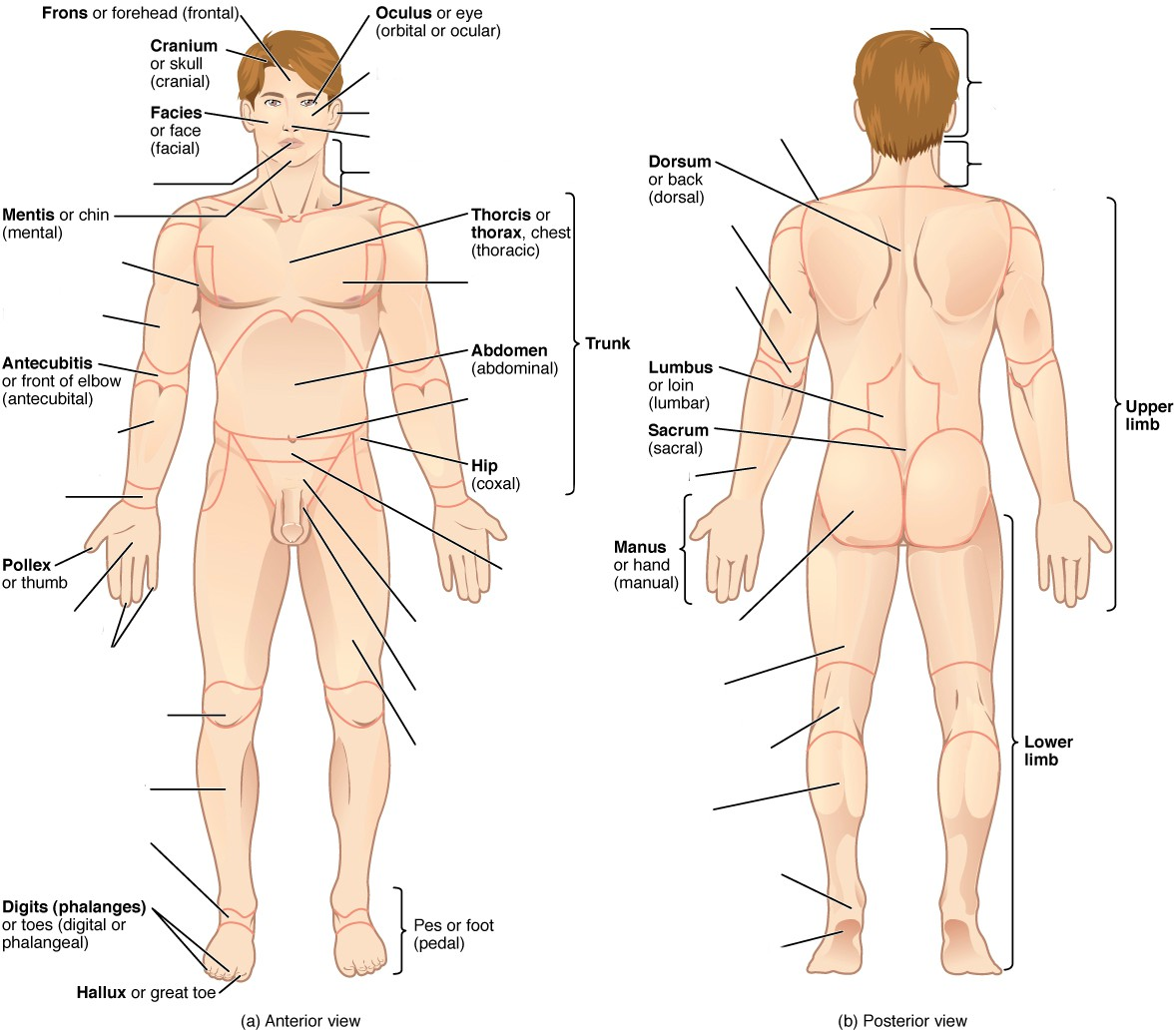 Relative location in the anatomical position - Male