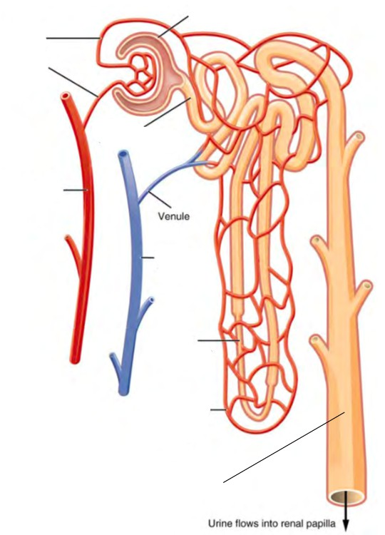 Predefined spaces to Label the structures of the nephron
