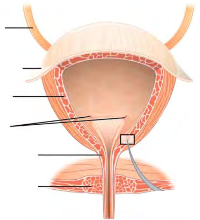 Predefined spaces to Label the structures of the bladder