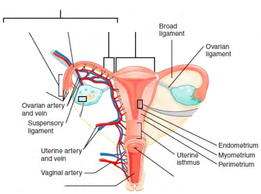 Predefined spaces to Label the structures of the uterus