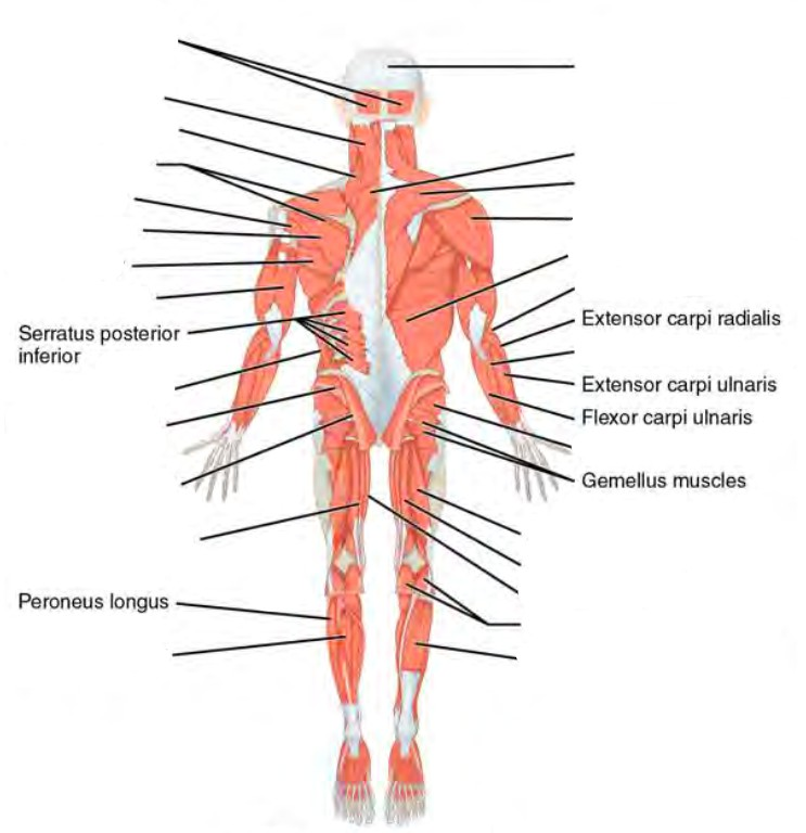 Label the major areas in the ( ventral /dorsal ) aspect of the body
