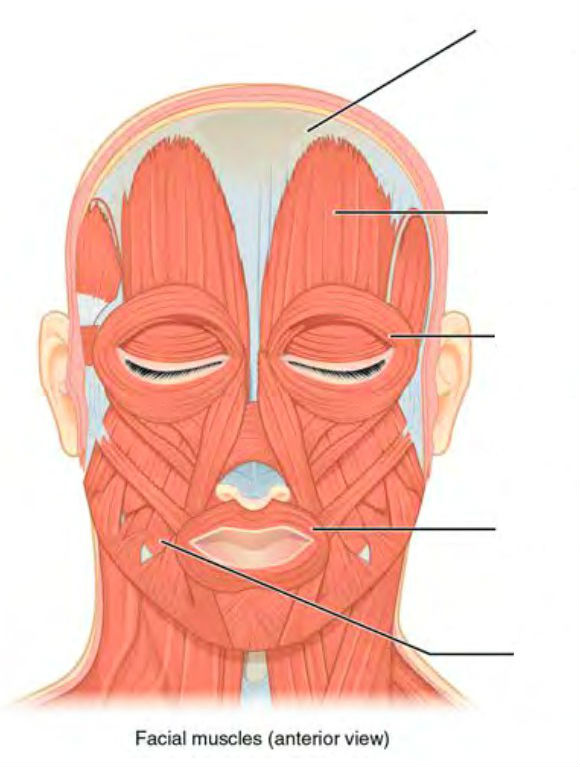 Predefined spaces to Label the muscles of head in Anterior view
