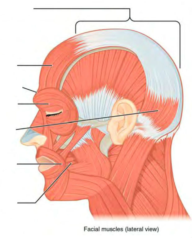 Predefined spaces to Label the head muscles in lateral view