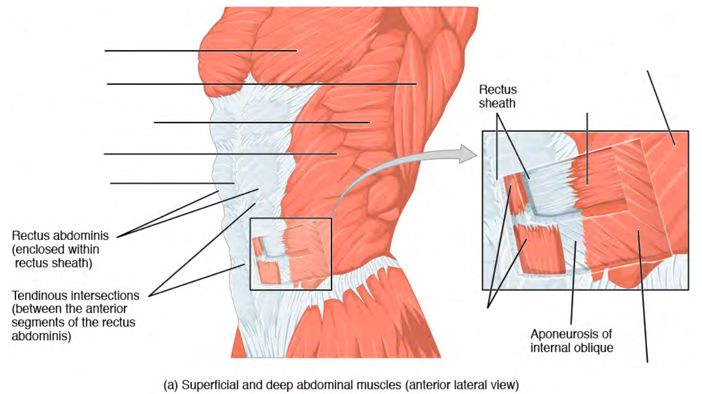 Predefined spaces to Label the abdominal muscles in anterior lateral view
