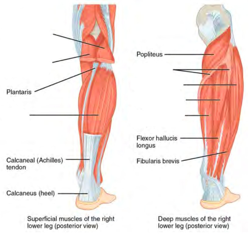 Predefined spaces to Label the lower leg muscles in anterior lateral view
