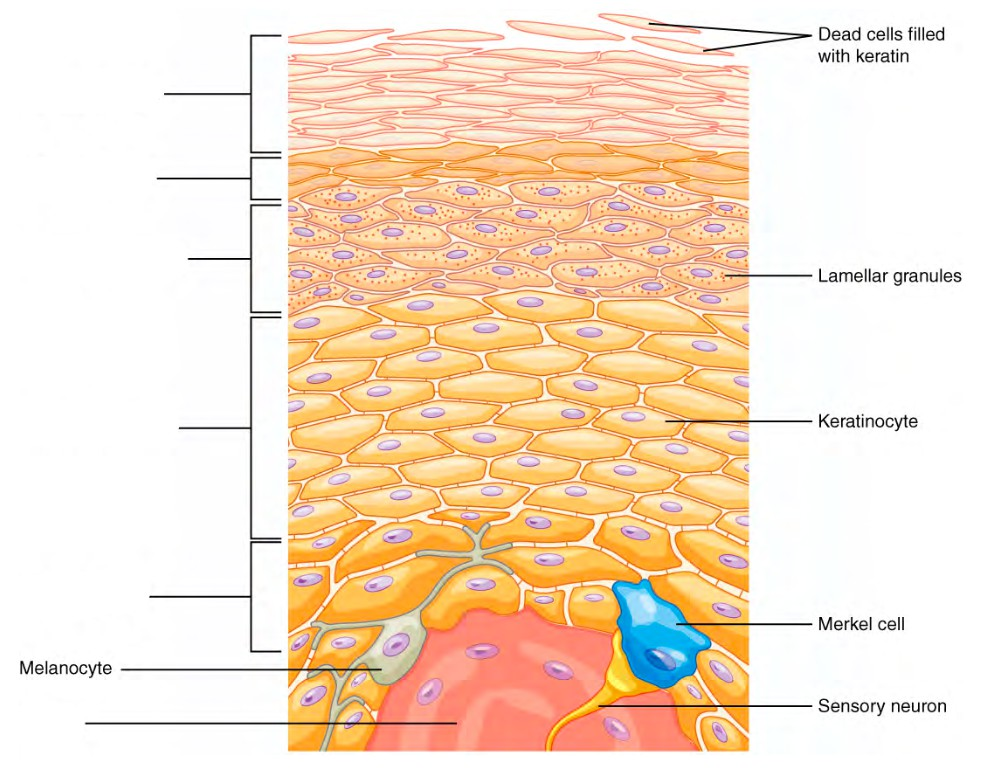 Predefined spaces to Label the layers of epidermis