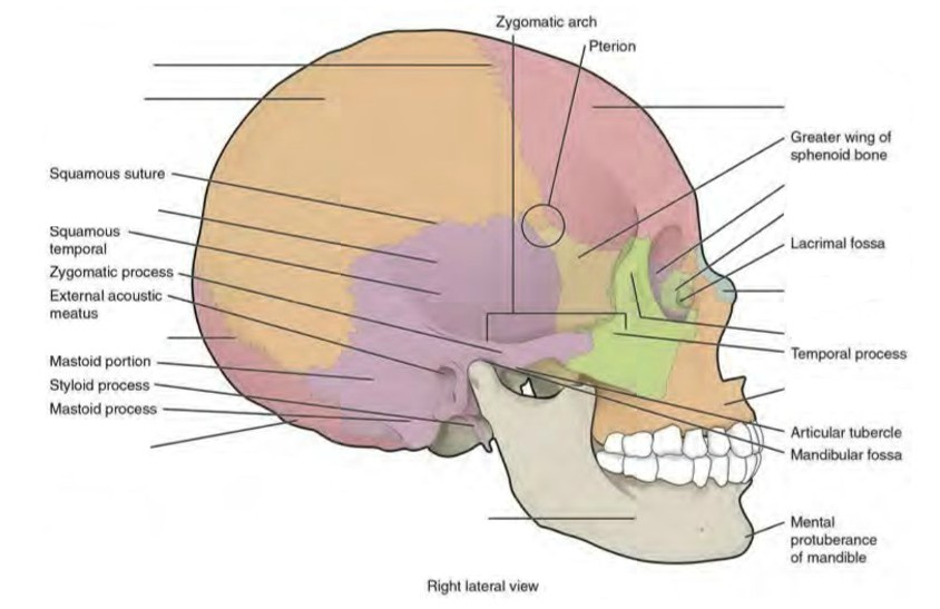 The lateral skull shows the large rounded brain case, zygomatic arch, and the upper and lower jaws. The zygomatic arch is formed jointly by the zygomatic process of the temporal bone and the temporal process of the zygomatic bone. The shallow space above the zygomatic arch is the temporal fossa. The space inferior to the zygomatic arch and deep to the posterior mandible is the infratemporal fossa.